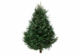 Balsam Fir 5-6FT